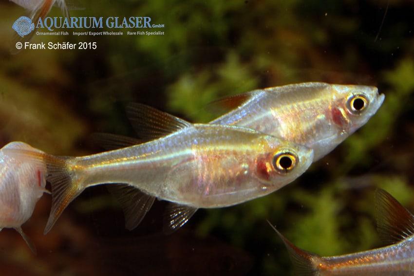 Trigonostigma (Rasbora) heteromorpha - Keilfleckbärbling 7