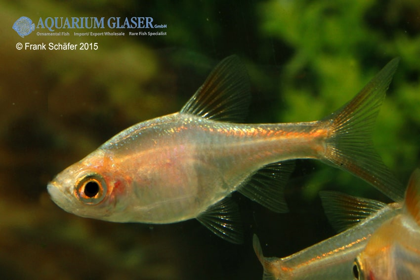 Trigonostigma (Rasbora) heteromorpha - Keilfleckbärbling 9