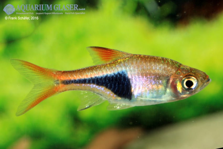 Trigonostigma (Rasbora) heteromorpha - Keilfleckbärbling 14