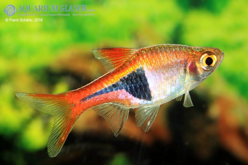 Trigonostigma (Rasbora) heteromorpha - Keilfleckbärbling 15