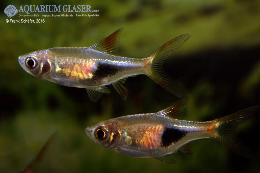 Trigonostigma (Rasbora) heteromorpha - Keilfleckbärbling 18