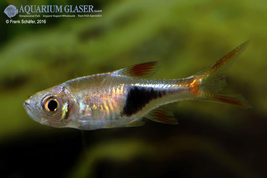 Trigonostigma (Rasbora) heteromorpha - Keilfleckbärbling 20