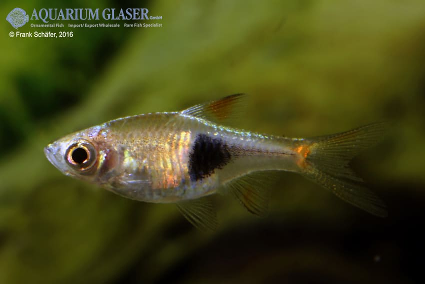 Trigonostigma (Rasbora) heteromorpha - Keilfleckbärbling 21