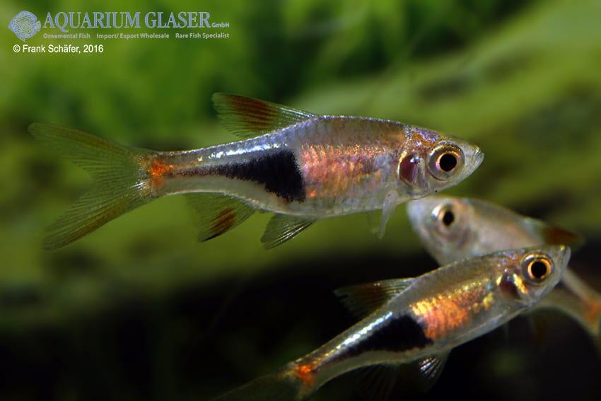 Trigonostigma (Rasbora) heteromorpha - Keilfleckbärbling 23