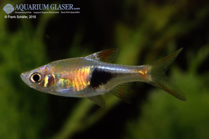 Trigonostigma (Rasbora) heteromorpha - Keilfleckbärbling 24