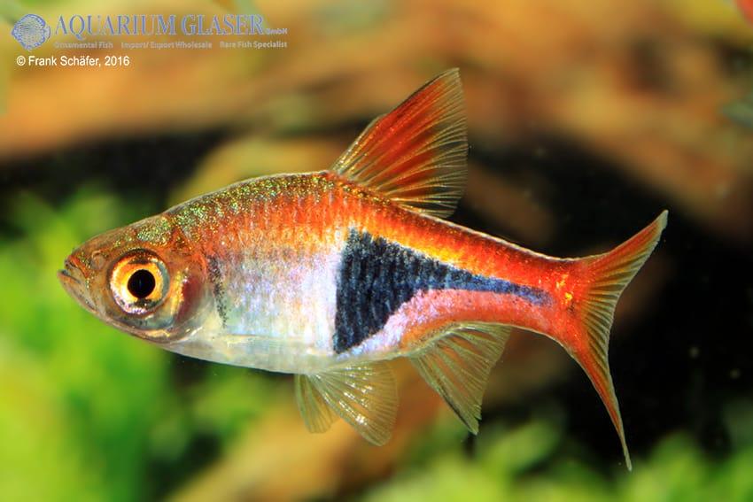 Trigonostigma (Rasbora) heteromorpha - Keilfleckbärbling 26