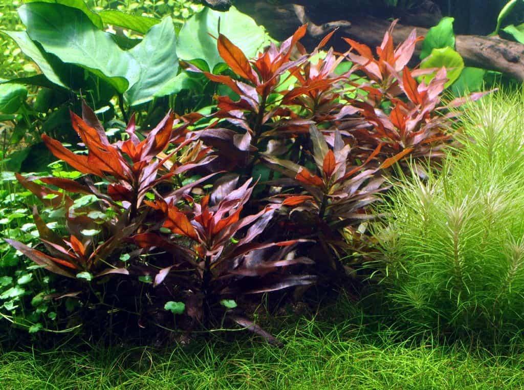 Ludwigia glandulosa - Rote Stern-Ludwigie 5