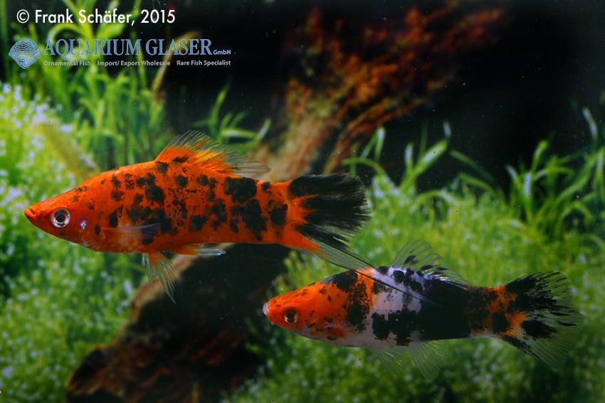 Xiphophorus hellerii - Schwertträger 29