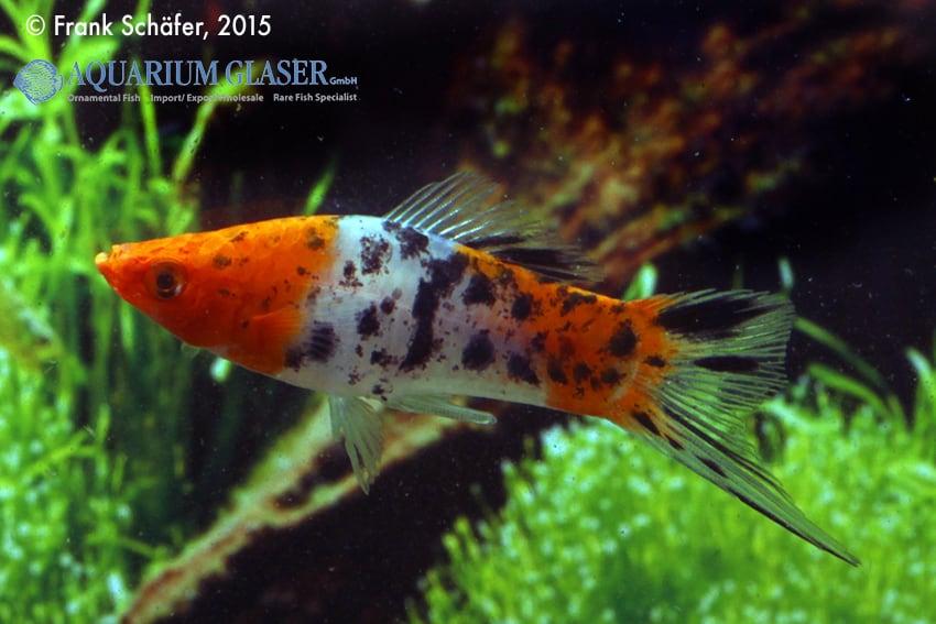 Xiphophorus hellerii - Schwertträger 30