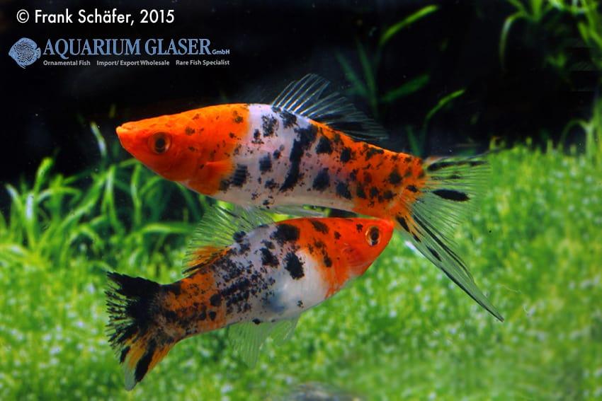 Xiphophorus hellerii - Schwertträger 31