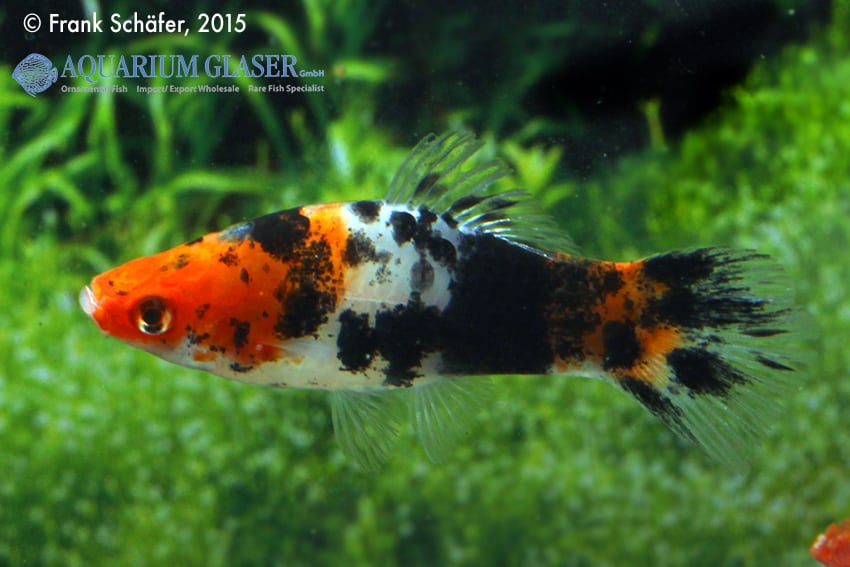 Xiphophorus hellerii - Schwertträger 32