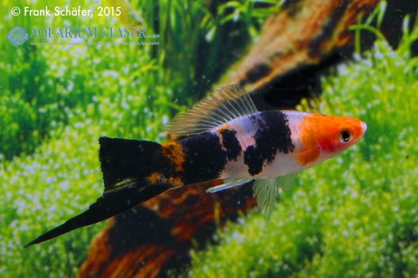 Xiphophorus hellerii - Schwertträger 33