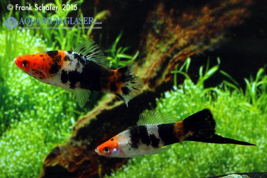 Xiphophorus hellerii - Schwertträger 34