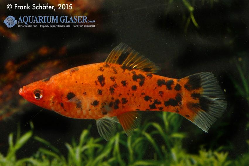 Xiphophorus hellerii - Schwertträger 35