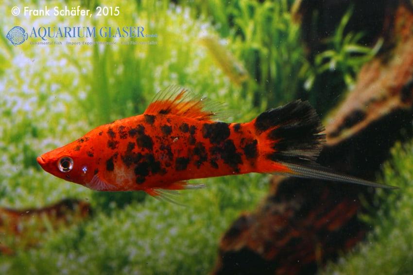 Xiphophorus hellerii - Schwertträger 36