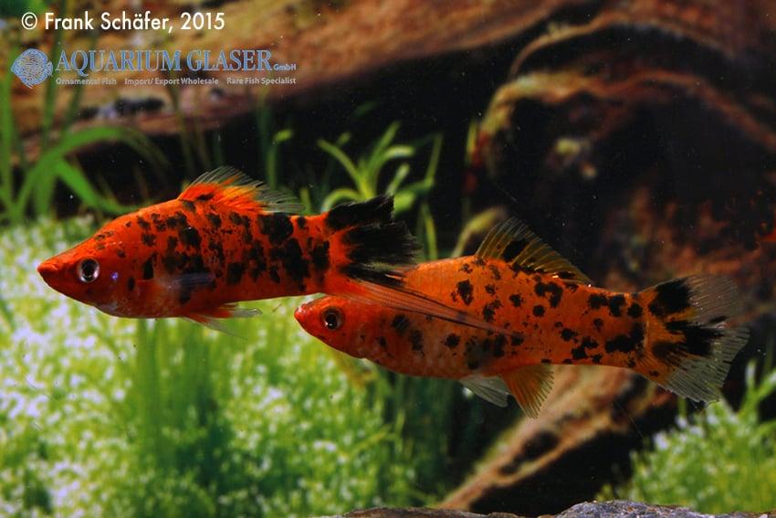 Xiphophorus hellerii - Schwertträger 37