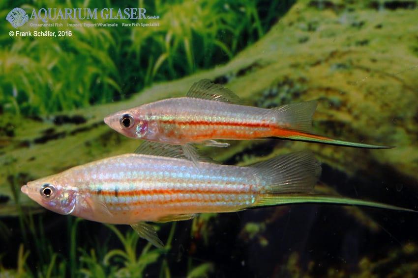 Xiphophorus hellerii - Schwertträger 47