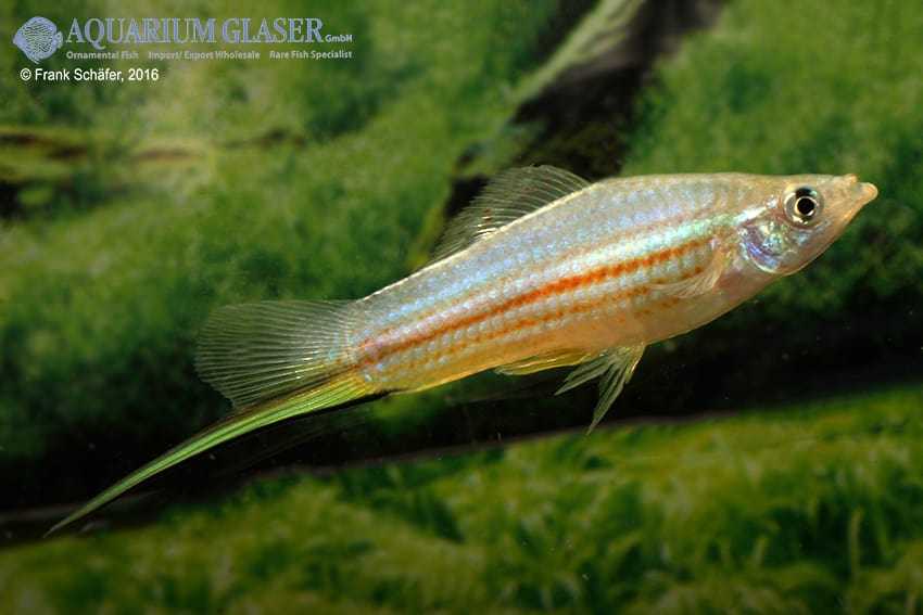Xiphophorus hellerii - Schwertträger 52