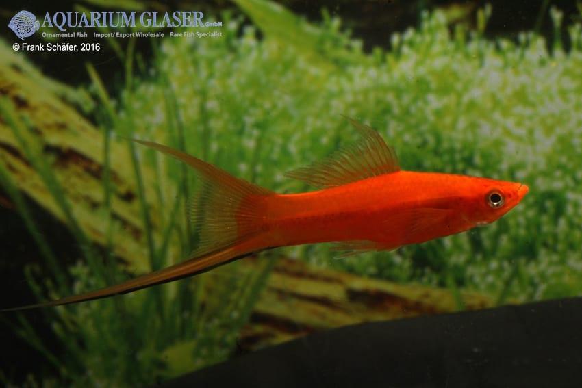 Xiphophorus hellerii - Schwertträger 53