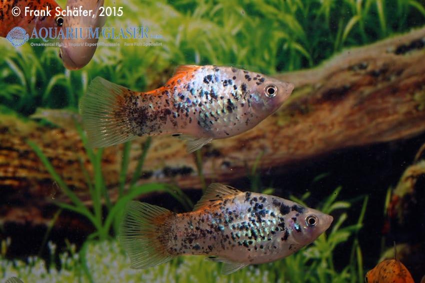 Xiphophorus maculatus - Platy 12