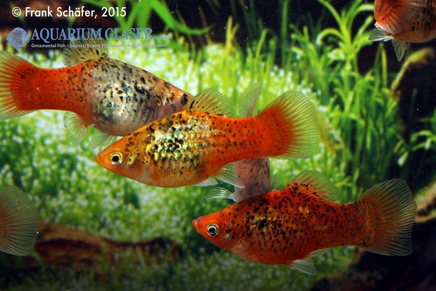 Xiphophorus maculatus - Platy 10