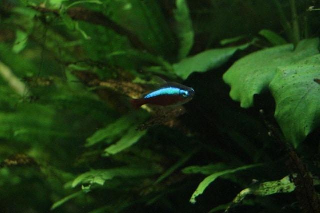 Paracheirodon axelrodi - Roter Neon 7