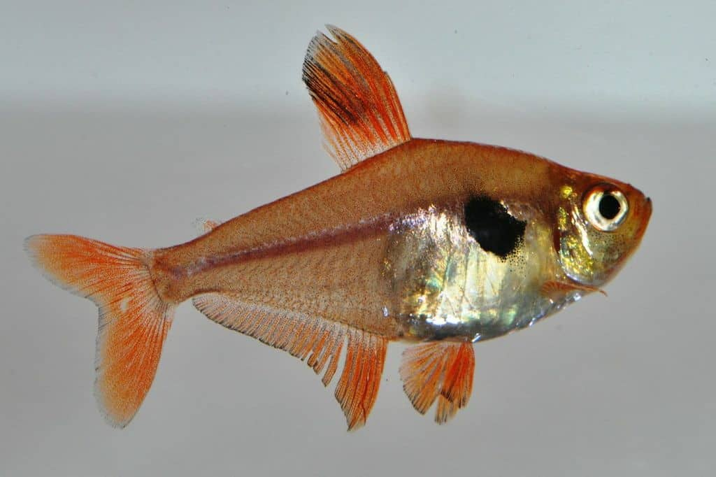 Hyphessobrycon megalopterus - Schwarzer Phantomsalmler 2