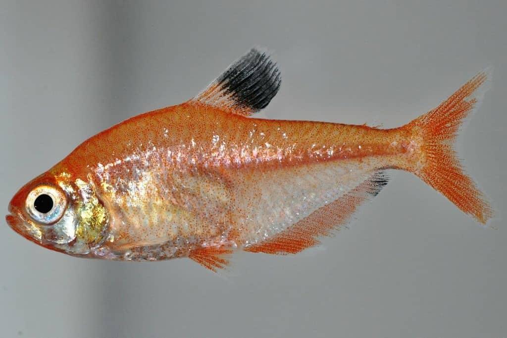 Hyphessobrycon eques - Blutsalmler 2