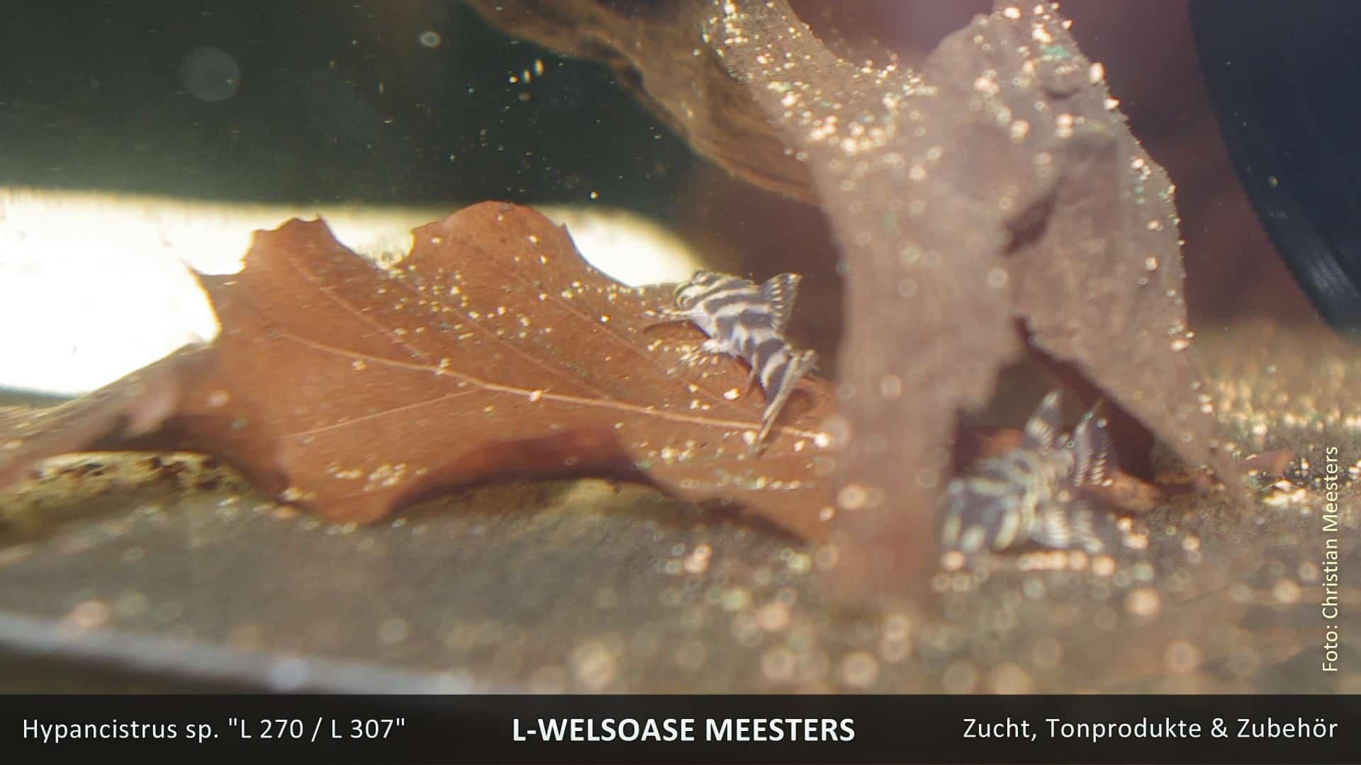 Hypancistrus spec. L270 / L307 - Curuá-Una-Zebrawels 3