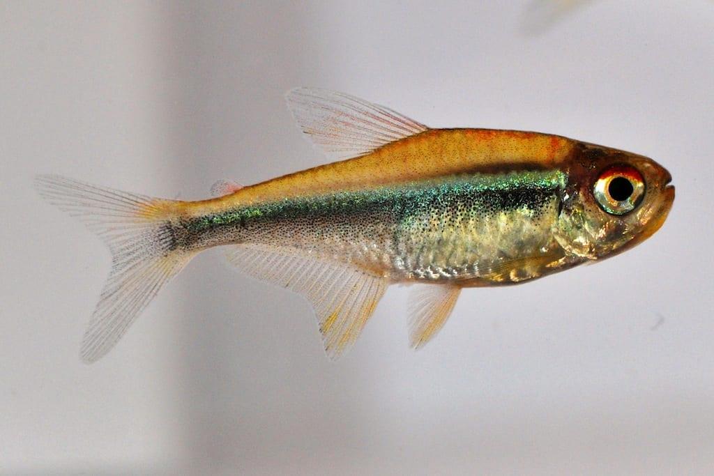 Hyphessobrycon herbertaxelrodi - Schwarzer Neon 1