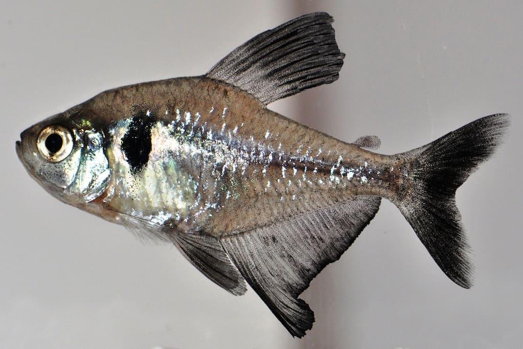 Hyphessobrycon megalopterus - Schwarzer Phantomsalmler 1
