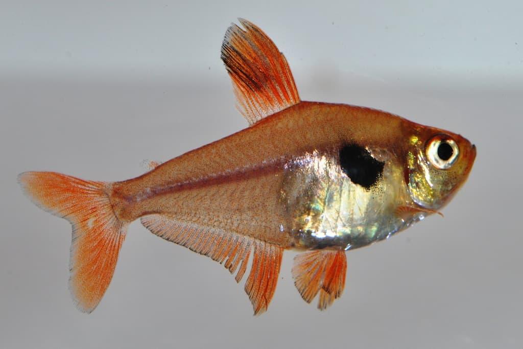 Hyphessobrycon sweglesi - Roter Phantomsalmler 1