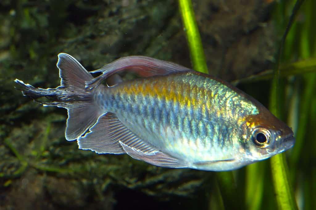 Phenacogrammus interruptus - Blauer Kongosalmler 1