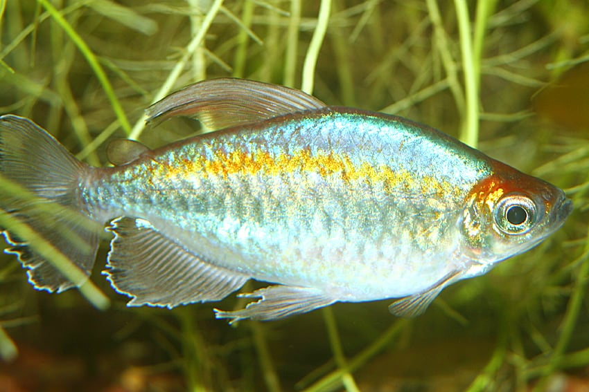 Phenacogrammus interruptus - Blauer Kongosalmler 3