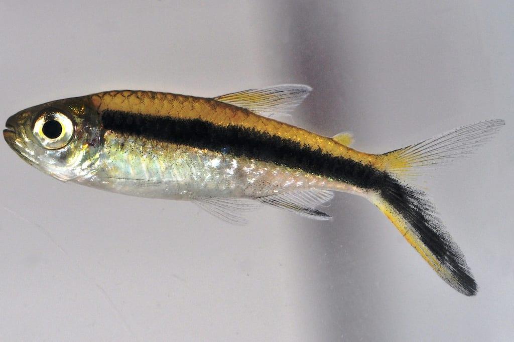 Thayeria boehlkei - Schrägschwimmer 1