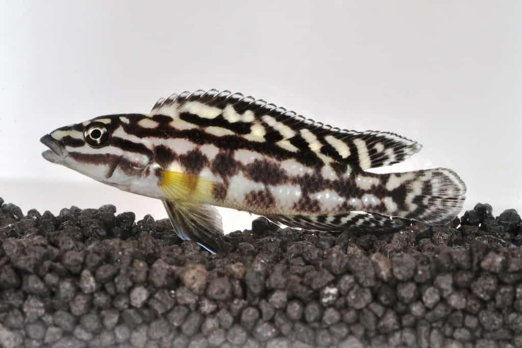 Julidochromis marlieri - Schachbrett-Schlankcichlide 1