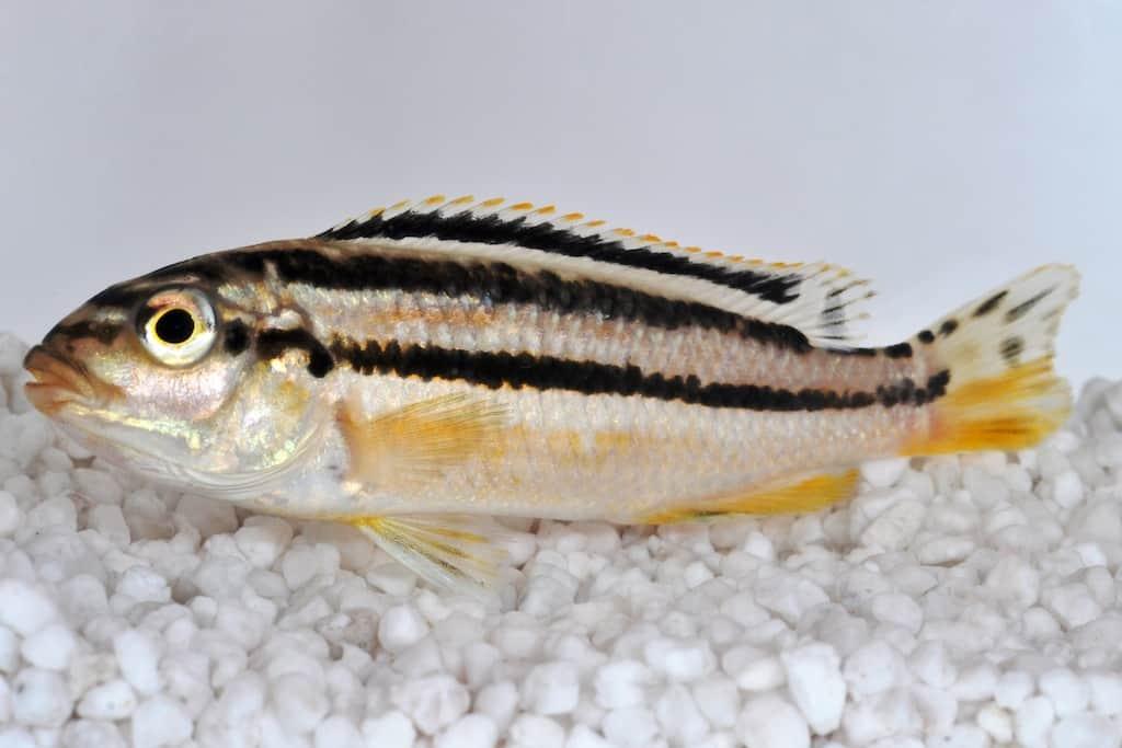 Melanochromis auratus t rkisgoldbarsch my fish for Zierfische barsch
