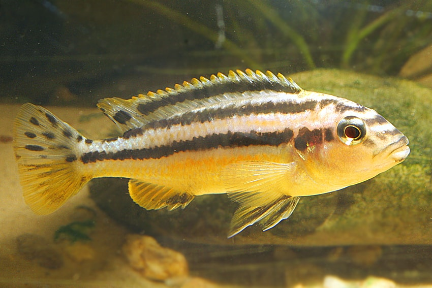 Melanochromis auratus - Türkisgoldbarsch 2