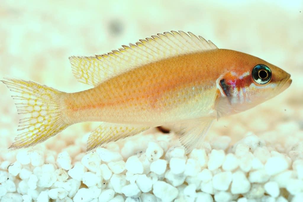 Neolamprologus brichardi - Prinzessin von Burundi 1