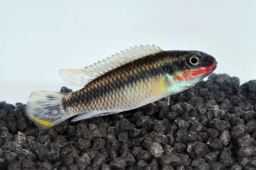 Pelvicachromis pulcher - Purpurprachtbuntbarsch 3