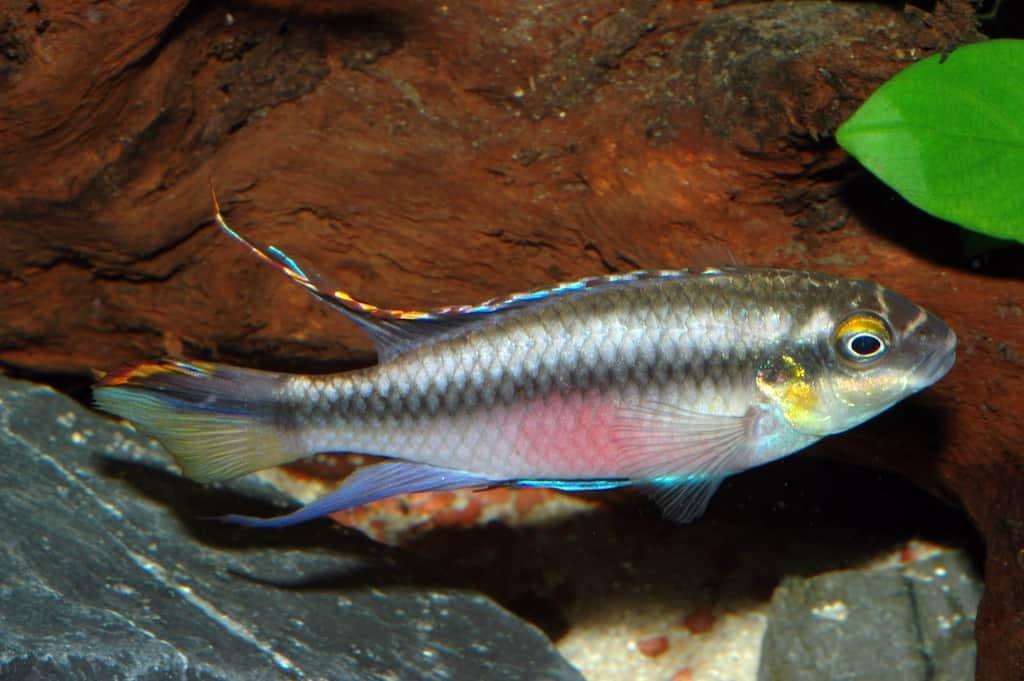 Pelvicachromis pulcher - Purpurprachtbuntbarsch 1