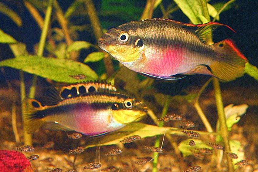 Pelvicachromis pulcher - Purpurprachtbuntbarsch 2