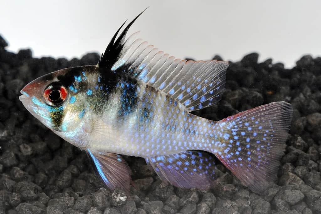 Mikrogeophagus ramirezi - Schmetterlingsbuntbarsch 2