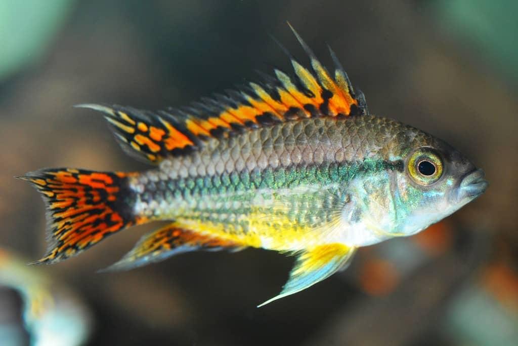 Interessante Aquarienbewohner - Buntbarsche 3