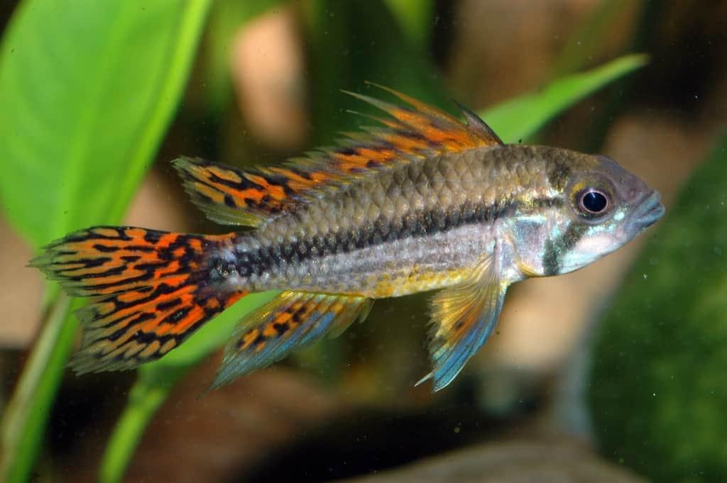 Apistogramma cacatuoides kakadu zwergbuntbarsch my fish for Zierfische barsch