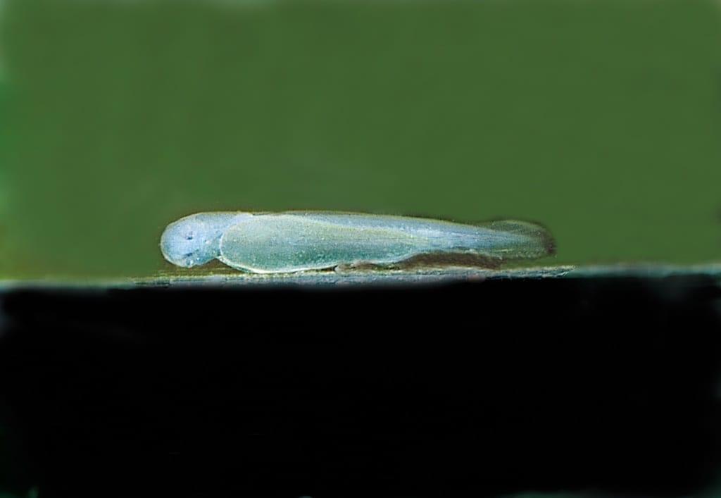 Chromobotia macracanthus - Prachtschmerle 10