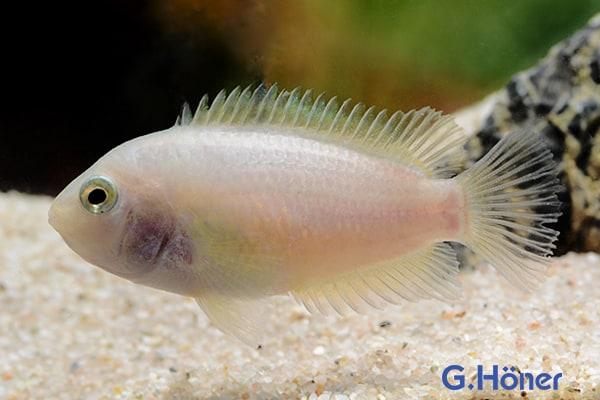 Archocentrus nigrofasciatus - Zebrabuntbarsch 2
