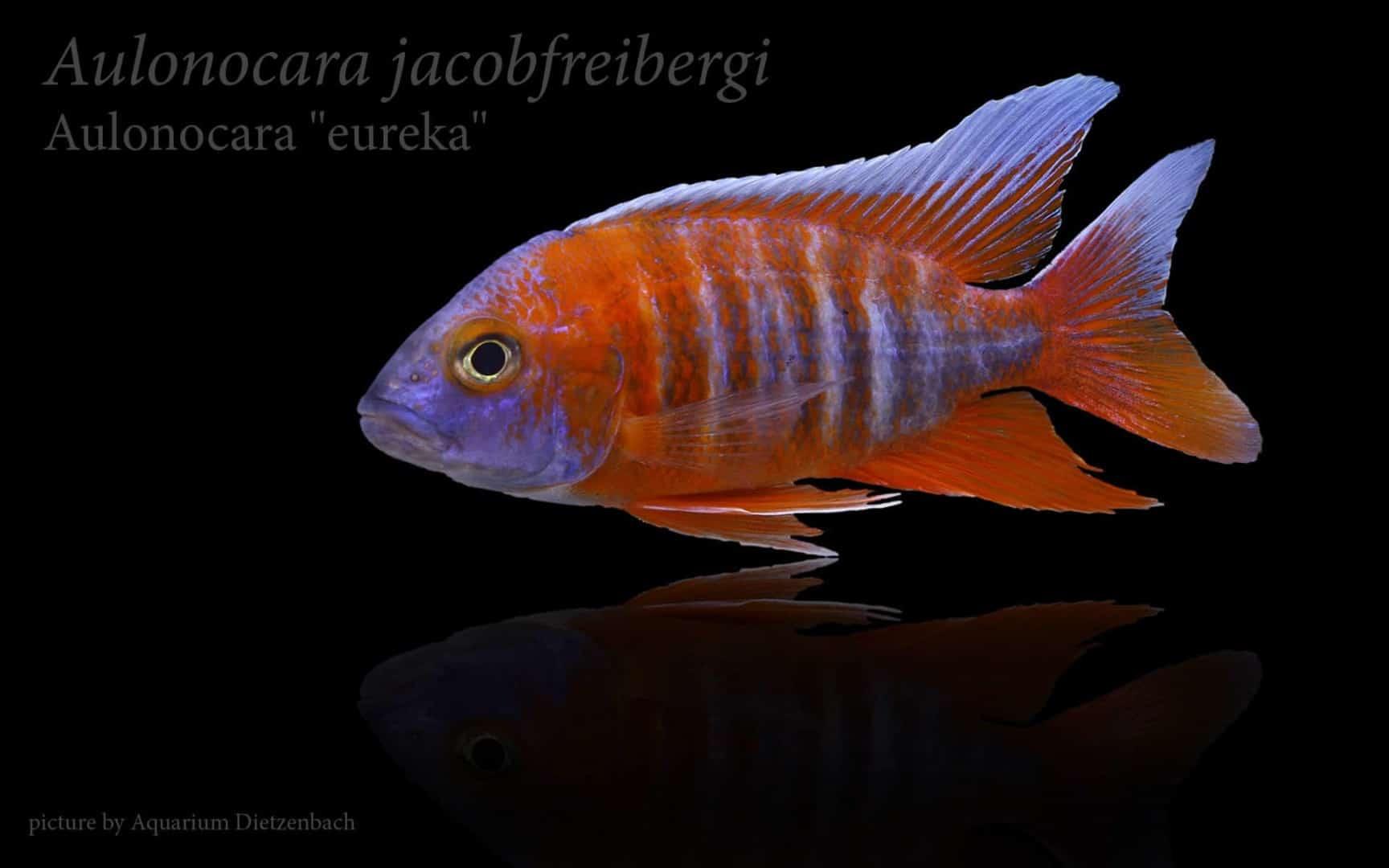 """Aulonocara jacobfreibergi """"eureka"""" - Feenbuntbarsch 14"""