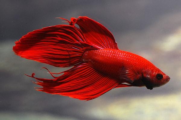 Labyrinth fadenfische my fish for Kampffisch betta