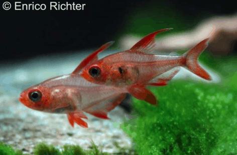 Hyphessobrycon sweglesi - Roter Phantomsalmler 3